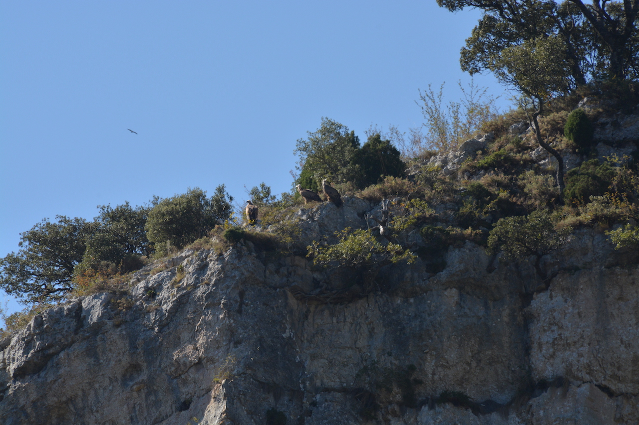 Three Griffon vultures perched high on the cliff above us